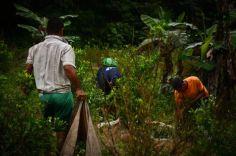 Cientos de fincas del Guaviare todavía conservan manchas de cultivos de coca