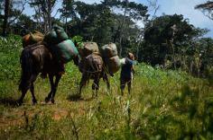 A lomo de mula, los campesinos productores llevan la hoja de coca a los cambullones, conocidos por las autoridades como laboratorios de procesamiento
