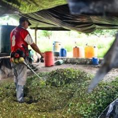La hoja de coca es picada con guadañas, las mismas que en las ciudades se usan para podar parques y jardines, para iniciar el procesamiento
