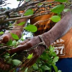 Los 'raspachines' ganan 4 mil pesos por cada arroba de hoja que arranquen de las plantas de coca.