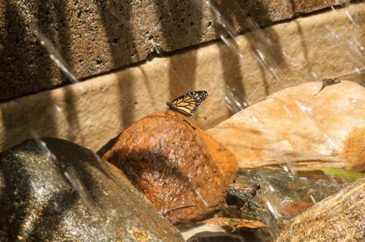 5.Es por eso que las mariposas del Jardín Botánico, que recibe su nombre por el sabio naturalista antioqueño Joaquín Antonio Uribe, fueron seleccionadas especialmente para estar allí.