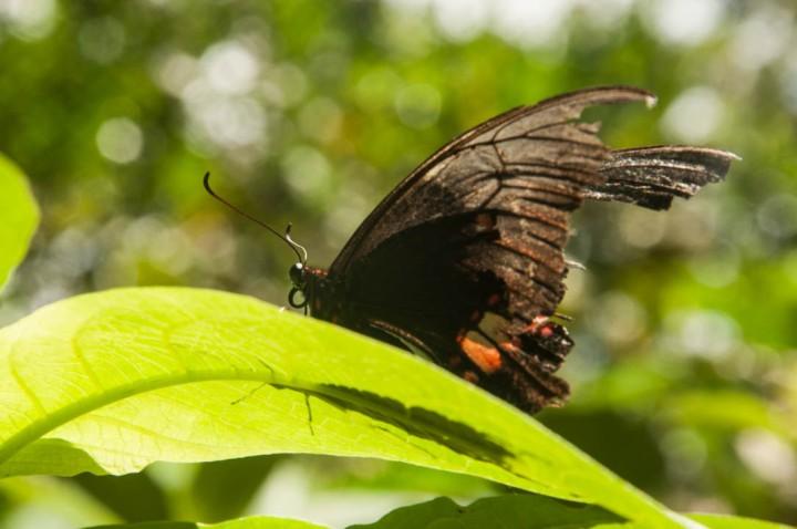 4.Promoviendo al tiempo en los visitantes del jardín conocimiento sobre el ciclo de vida de las lepidópteras –comúnmente llamadas mariposas- , quienes antes de volar son gusanos.